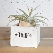 Tillandsia with Vintage Wood Box (ハリシー)