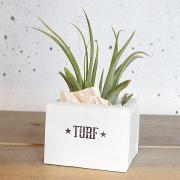 Tillandsia with Vintage Wood Box (パウシフォリア)