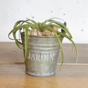 Tillandsia with Bucket (カピタータ)