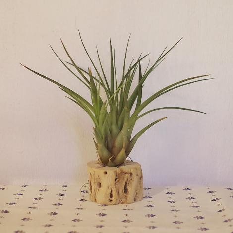 Tillandsia with Wood (tricolor)